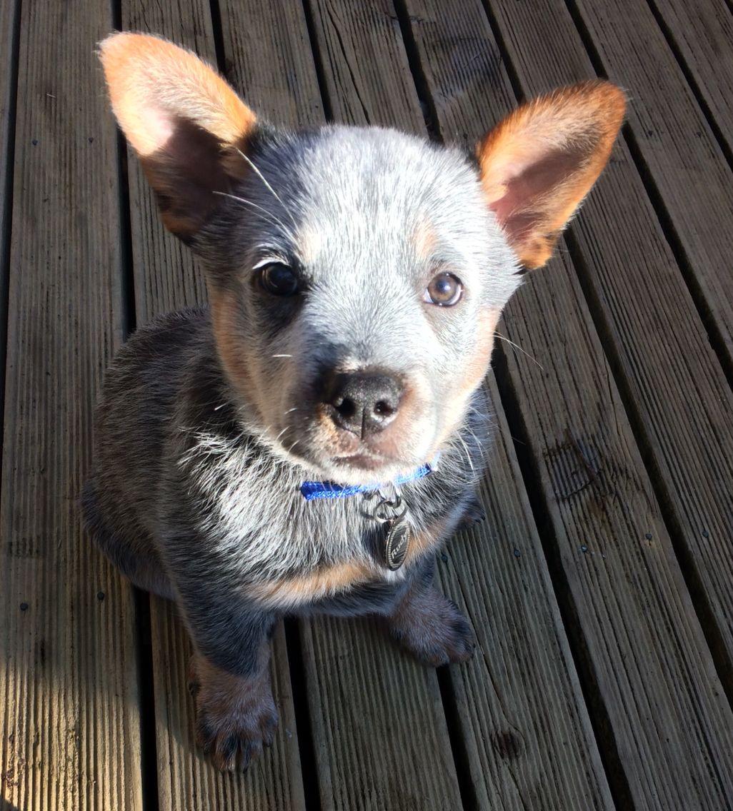 9 Week Old Australian Cattle Dog Austrailian Cattle Dog Cattle Dogs Rule Blue Heeler Puppies