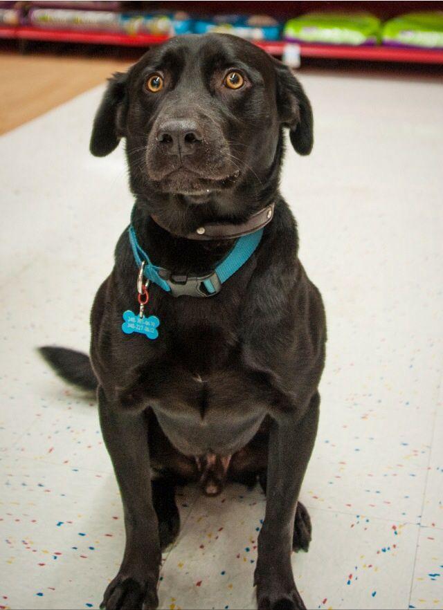 Adopt Iggy Pop Needs A Foster On Labrador Retriever Black