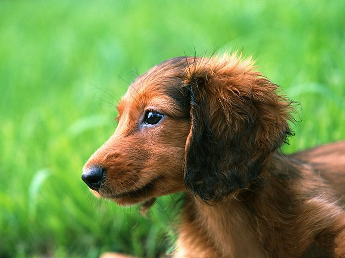Pin by Rhonda Rutledge Alaeff on DOXIES Dachshund puppy
