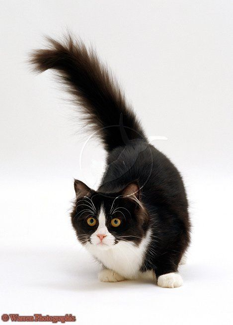 34+ Kitlers cats information