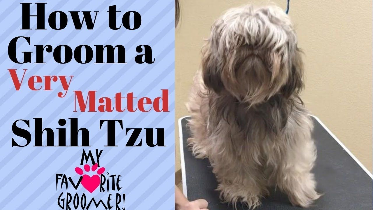 How to groom a shih tzu very matted youtube shih tzu