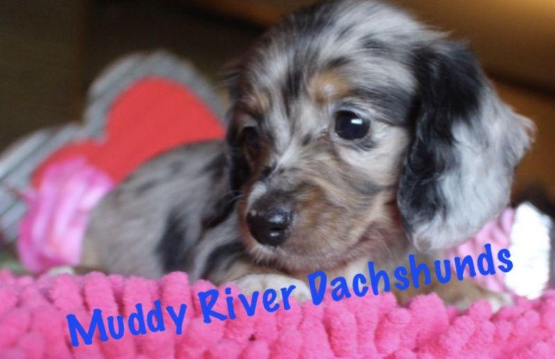 micro mini dachshund puppies for sale nc