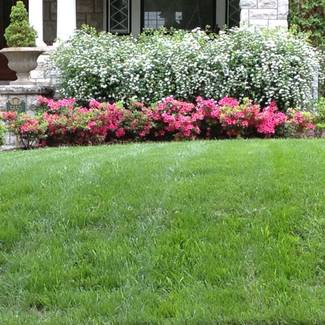 Front Garden Bushes: Pretty Azaleas And Bridal Wreath Bushes. Good Example Of