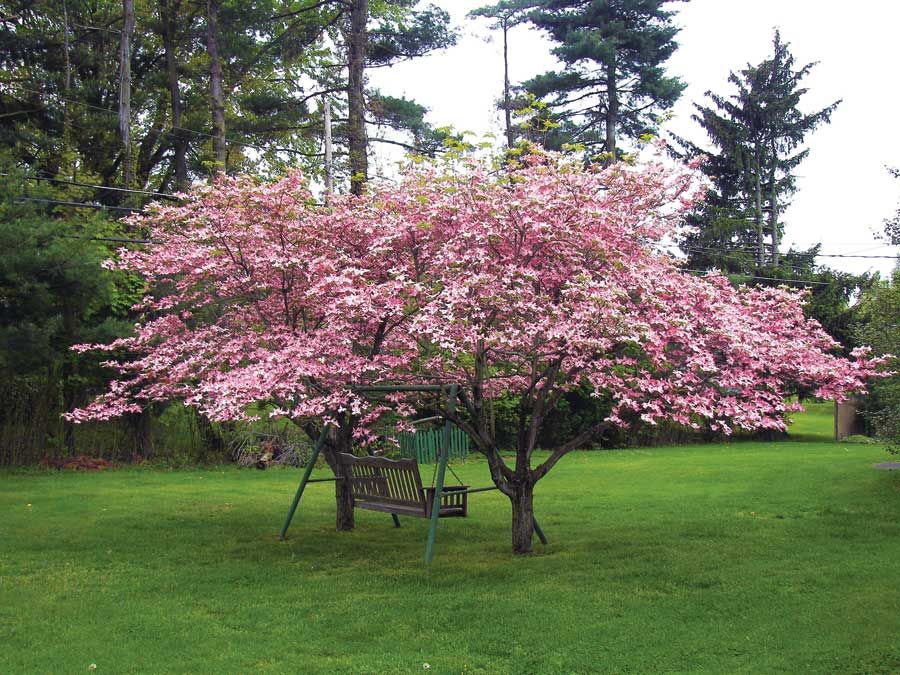 A Few Ideas for Giving Trees as Gifts Pink dogwood
