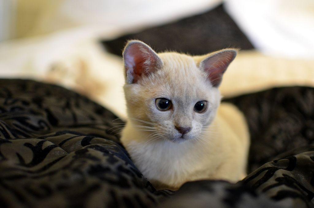Alvin The Lilac Burmese Kitten Burmese Kittens Cute Baby Animals Pretty Cats