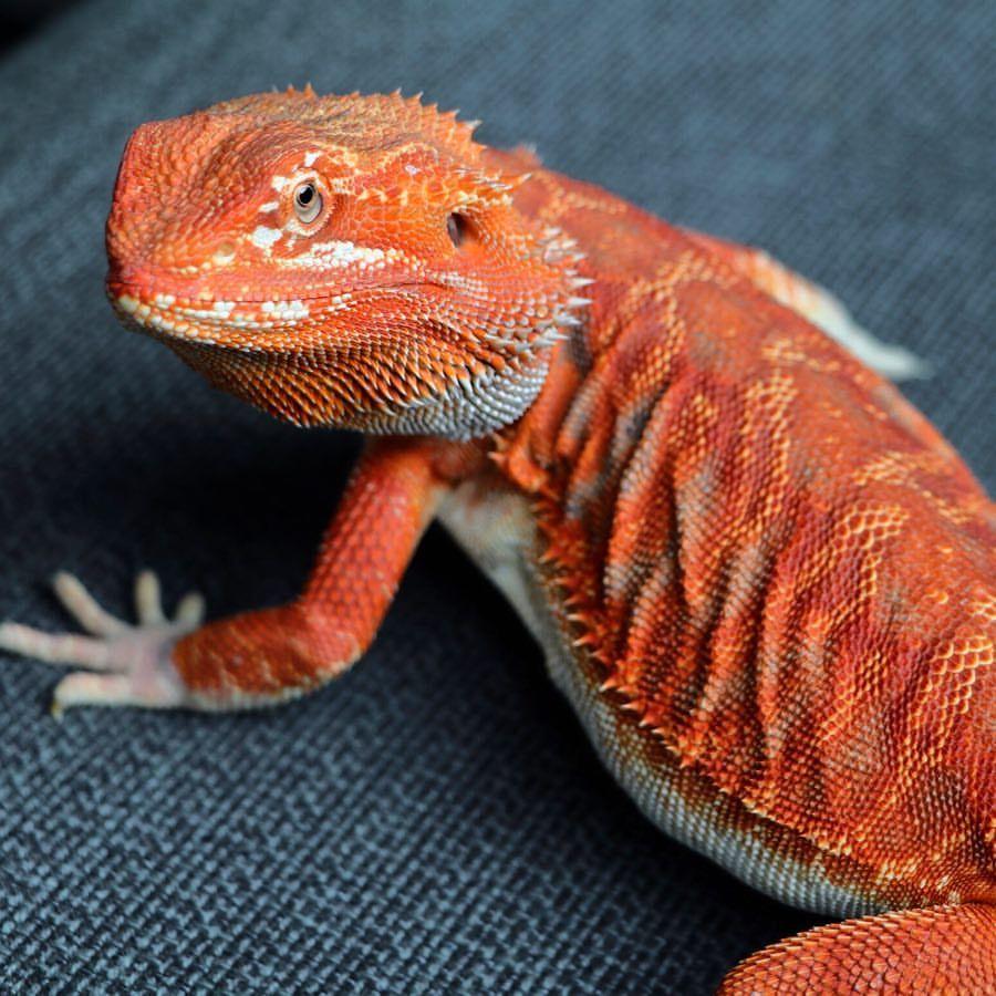 Mars! Hypo red bearded dragon  #beardeddragons #cutepet