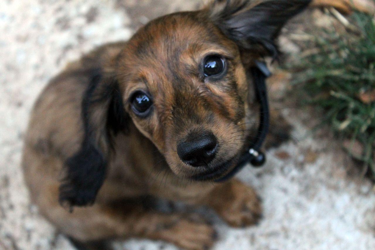 Baby Doxie Willow Baby Dogs Dachshund Weiner Dog