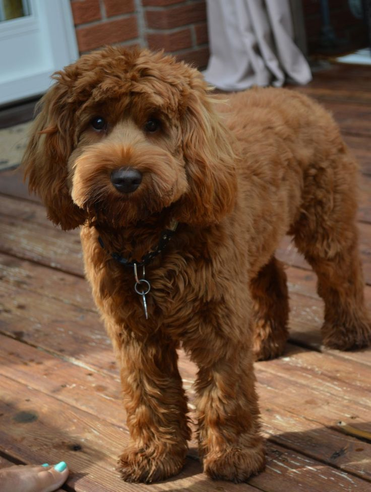 how to train my labradoodle puppy