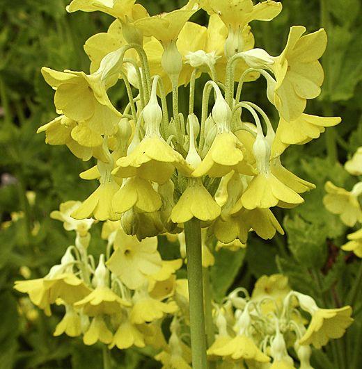 Primula florindae very fragrant drooping bell shaped yellow primula florindae very fragrant drooping bell shaped yellow flowers on strong 40cm high mightylinksfo