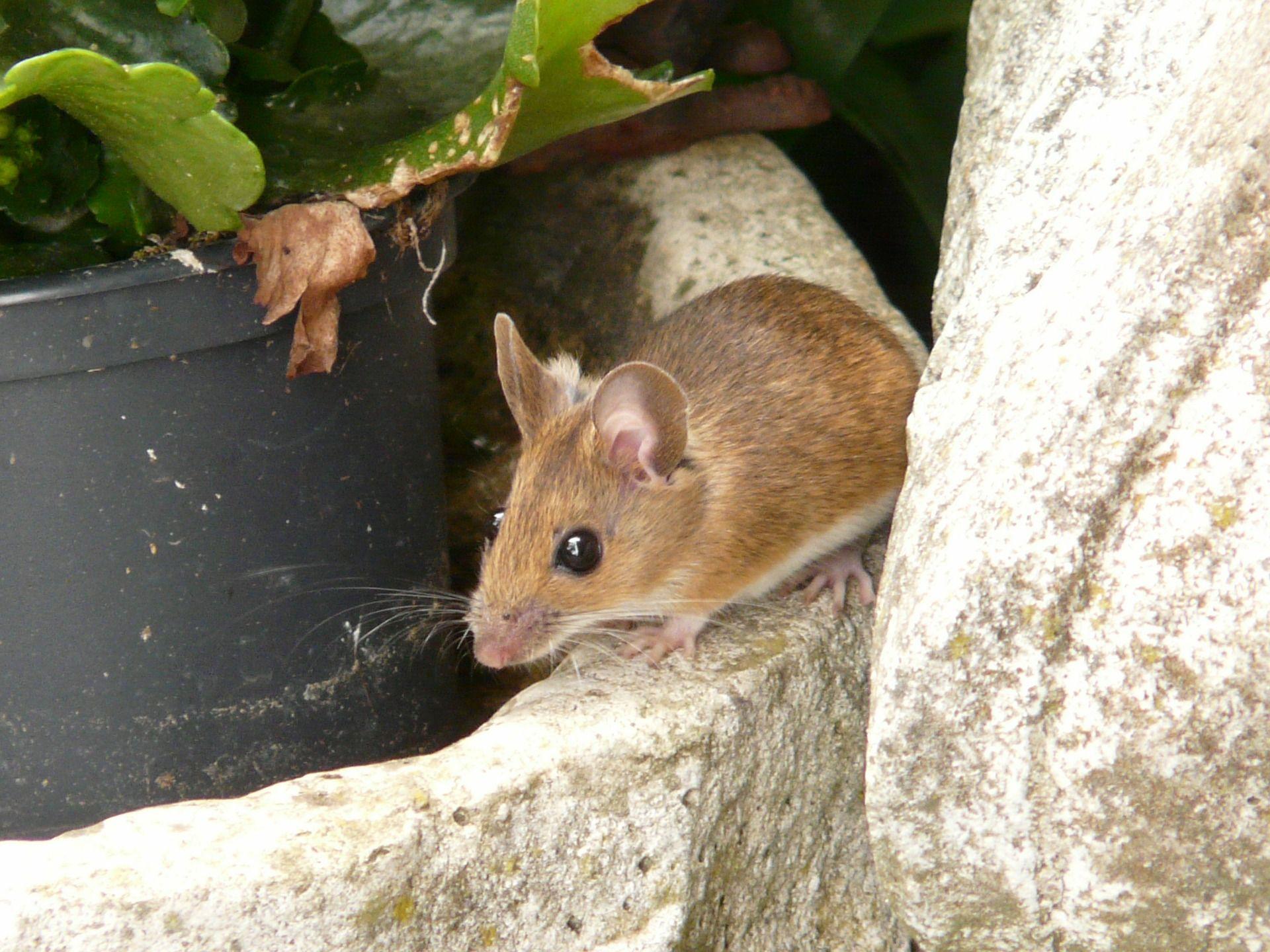 c317e0a7b9c3 How to Get Rid of Rodent Pests in the Home | The Old Farmers Almanac ...