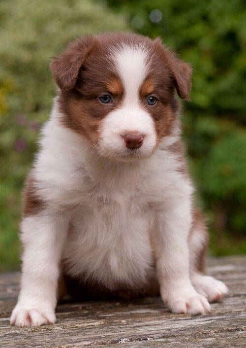 Border Collie Pups Red Chocolate Tri Border Collie Puppies