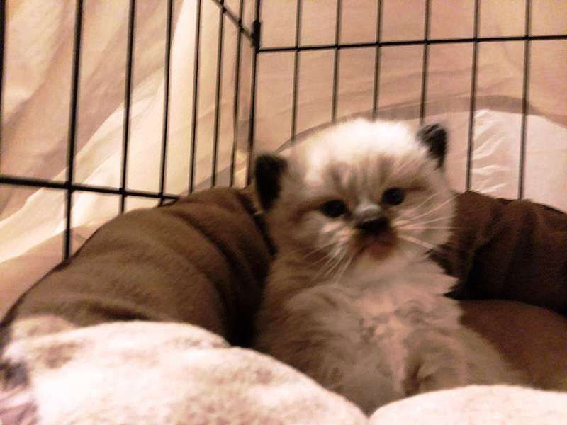 Classified listing of cats for sale search by breed age