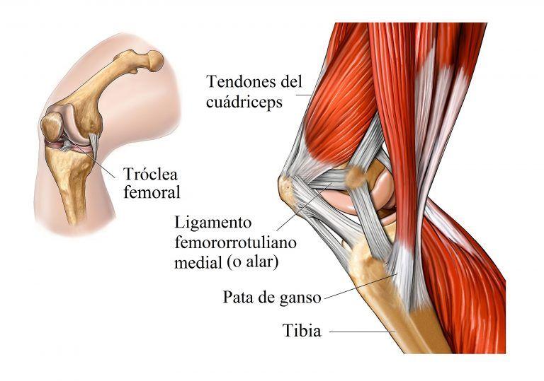 Anatomia De Rodilla Anatomía De La Rodilla Musculo Biceps Braquial Músculos Del Cuerpo Humano