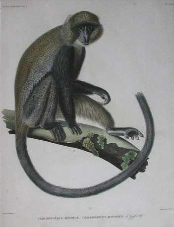Prints Old & Rare - Monkeys page