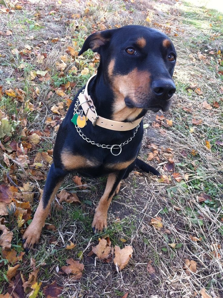 Doberman Pinscher Loyal And Fearless Doberman Mix Lab Mix