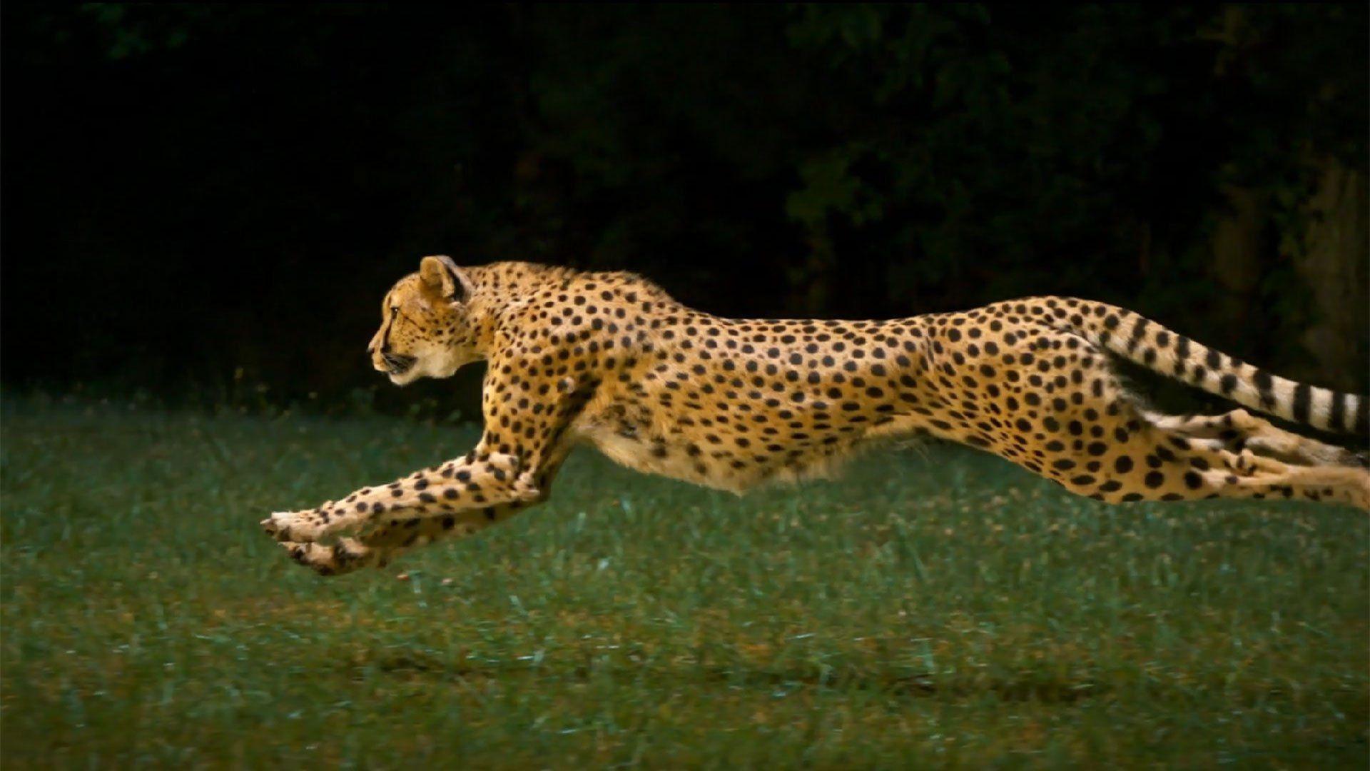 Cheetah Running With Images Cheetah Wallpaper Animals