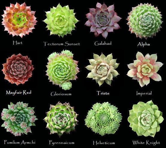 pingl par cyril jah sur succulentes pinterest plantes cactus et plante jardin. Black Bedroom Furniture Sets. Home Design Ideas