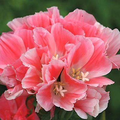 100 Godetia Dwarf Light Salmon Flower Seeds Flower Seeds Flowers Water Wise Plants