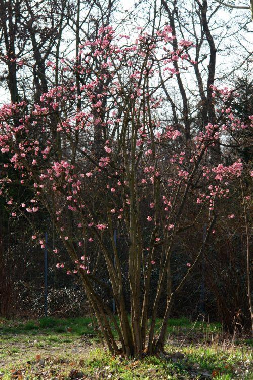 B047800 Winterschneeball Dawn 78139 0 Viburnum Winter Shrubs Winter Plants