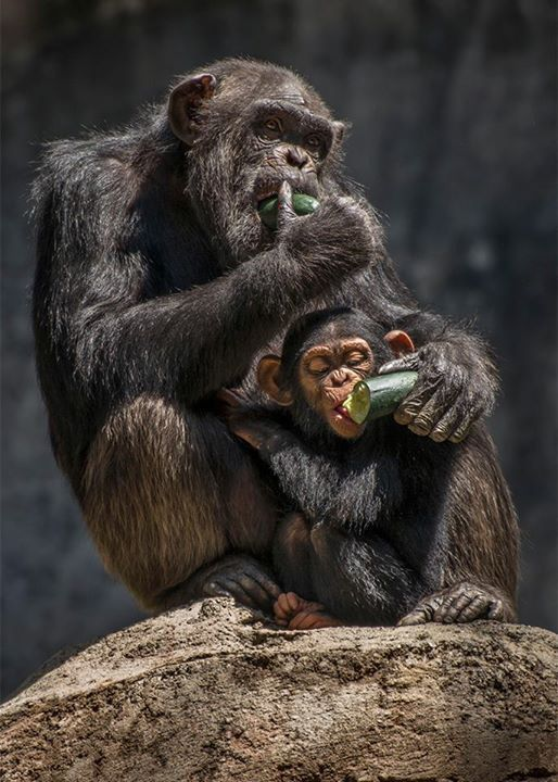 Momma Chimpanzee And Her Little One At The Los Angeles Zoo Botanical Gardens Animals Beautiful Baby Chimpanzee Pet Birds