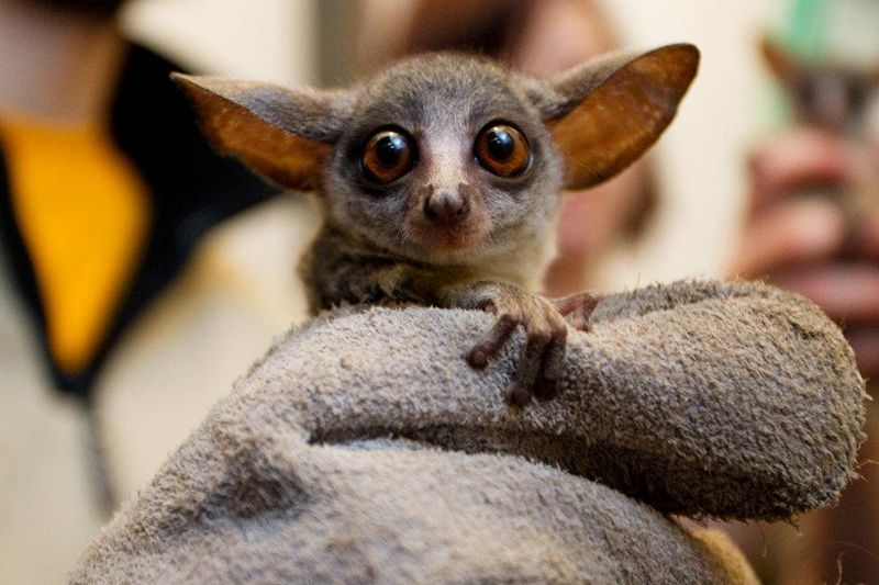 Senegal Bush Baby Aka Galago With Images Cute Baby Animals