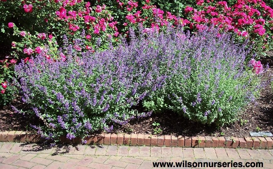 Walker's Low Catmint Wilson Nurseries Knockout roses
