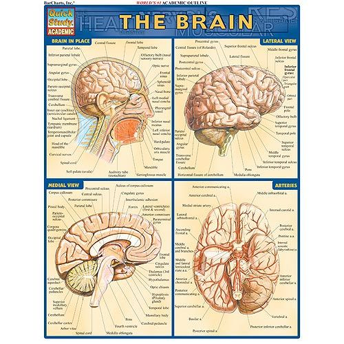 Great The Brain Study Chart Brain Science Brain Anatomy Brain Facts