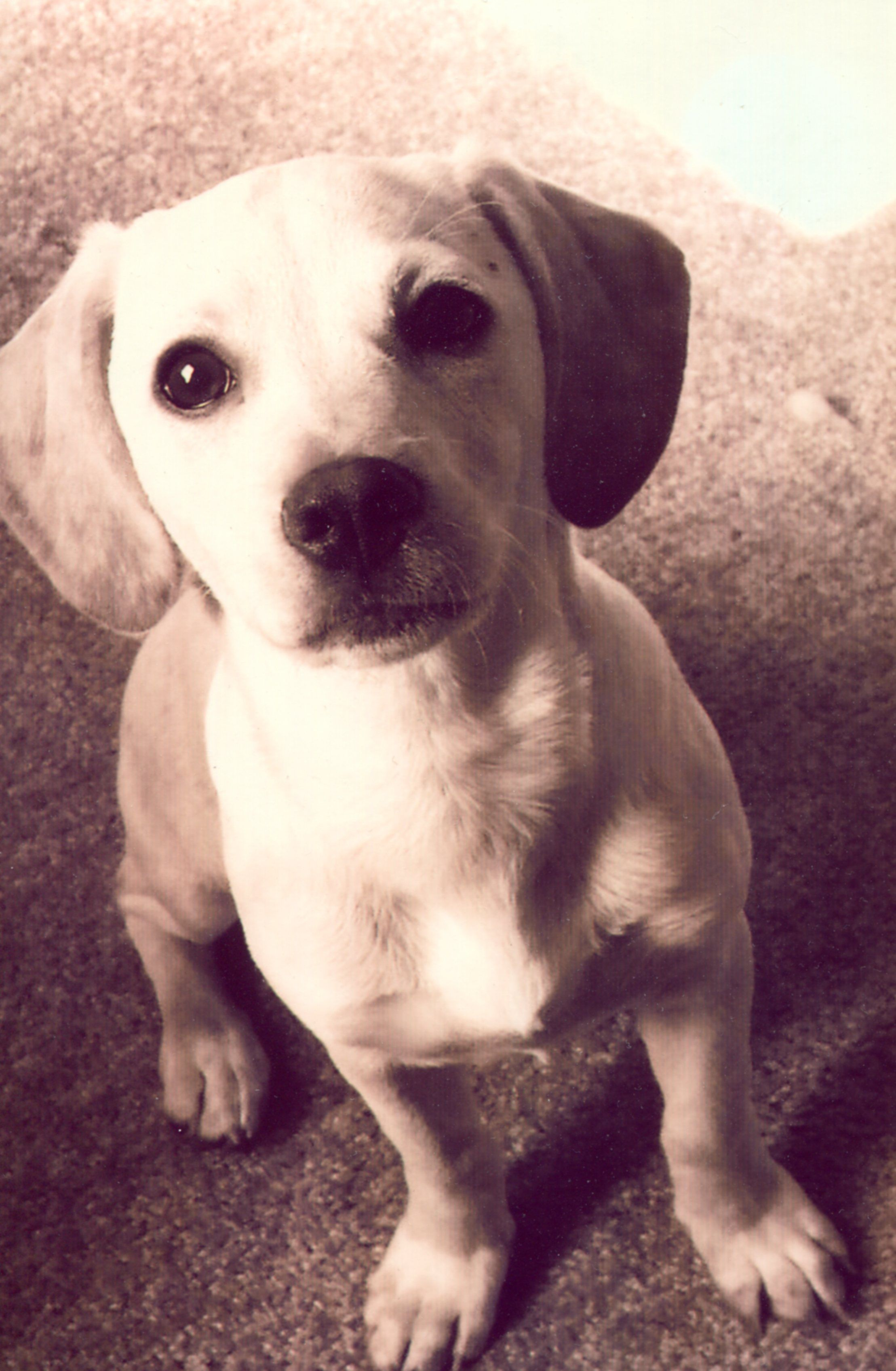 Butters My Sweet Little Lab Chihuahua Mix I Miss You Butters