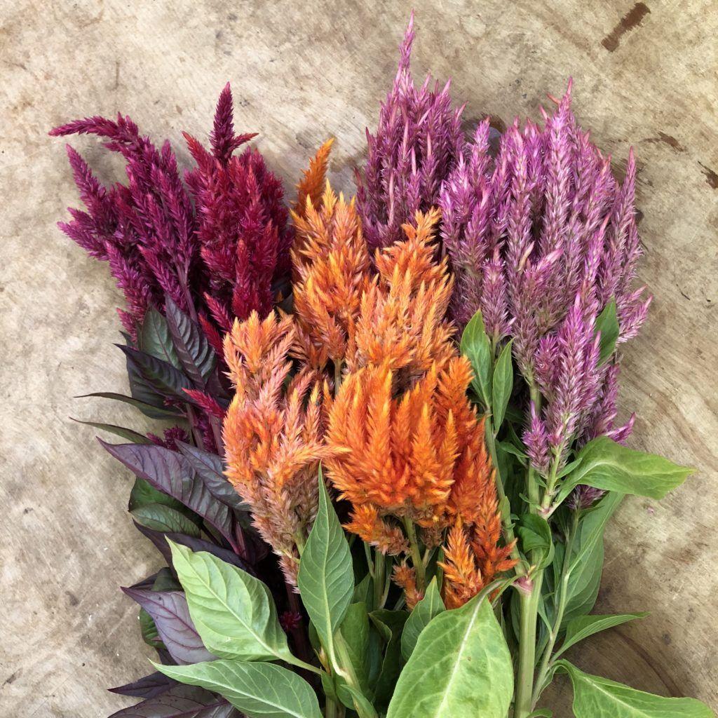 Celosia Plume Sunday Mix 15 Seeds The Gardener S Workshop Types Of Flowers Flower Farm Celosia Flower