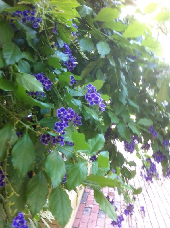 Duranta duranta erecta this may be a flowering shrub called duranta duranta erecta this may be a flowering shrub called duranta erecta known for its profuse clusters of purple blue pink or white flowers mightylinksfo