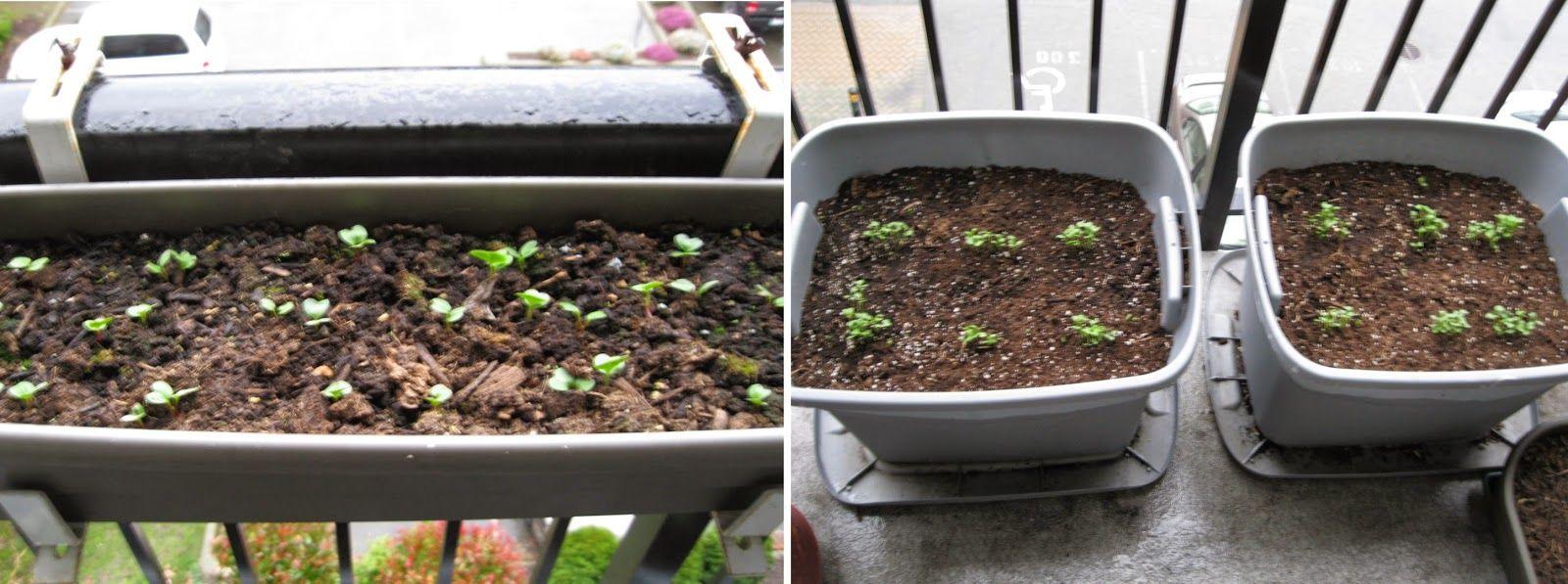 Tips for Growing Kale | Growing kale, Kale, Growing Companion Planting Kale
