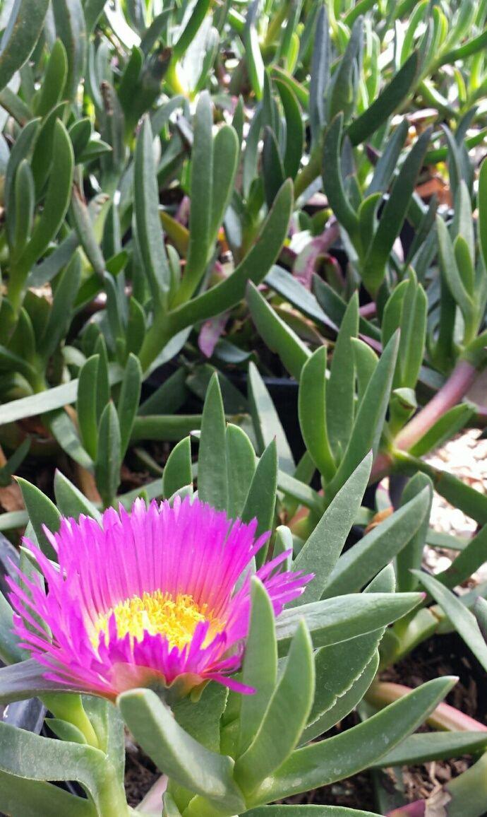 Hottentot Ice Plant Carpobrotus Edulis Succulent Perennial Ground
