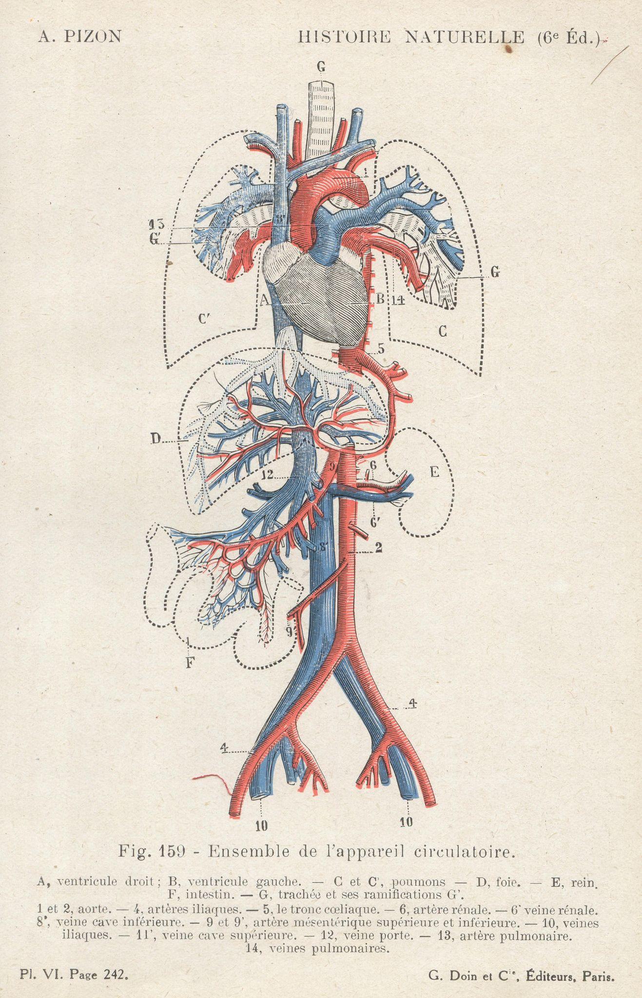 Pl6 Histoire Nat Anatomy Pinterest Anatomy Circulatory System