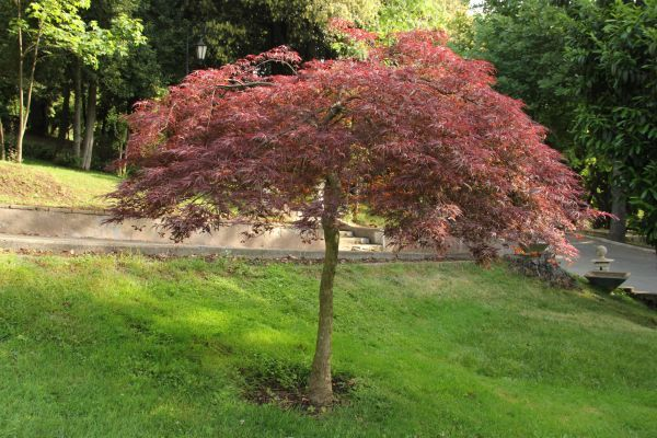 acer palmatum 39 dissectum atropurpureum ornatum 39 2m spring. Black Bedroom Furniture Sets. Home Design Ideas