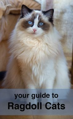 Ragdoll Cats A Complete Guide To The Ragdoll Cat Breed Cat Breeds Ragdoll Cat Ragdoll Cat Breed
