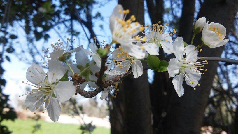 Ciruelo floreciendo