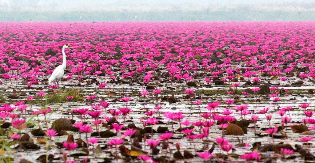 Red Lotus Lake Thailand Thailand Lotus Lotus Plant Red Lake