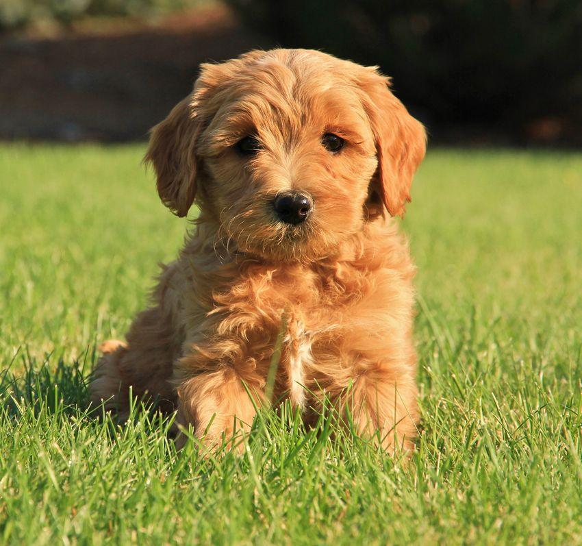 Labradoodle Puppies Joy's Available Australian