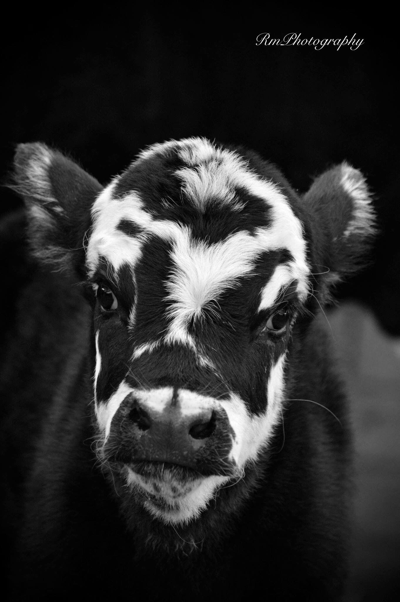 i adore cows composition contest
