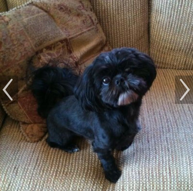 Pin By Jessica Daniels On Gizmo Shih Tzu Hairstyles Shih Tzu
