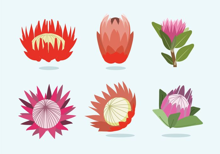 Protea Flower Vector Protea Art Protea Flower Flower Art