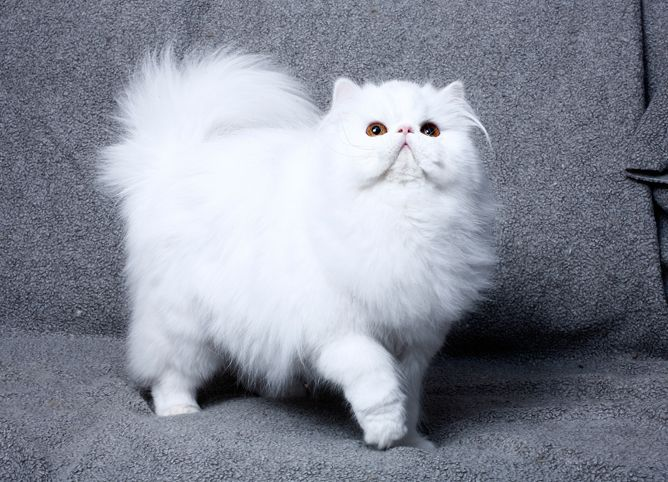 Pin By Isabelle Ragan On Potential Pets Persian Cat Cat Breeds
