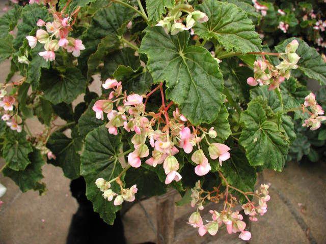 Tipos De Begonia Clasificacion Com Imagens Begonias
