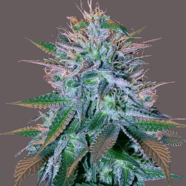 STRAINS | Marijuana Seeds Canada |