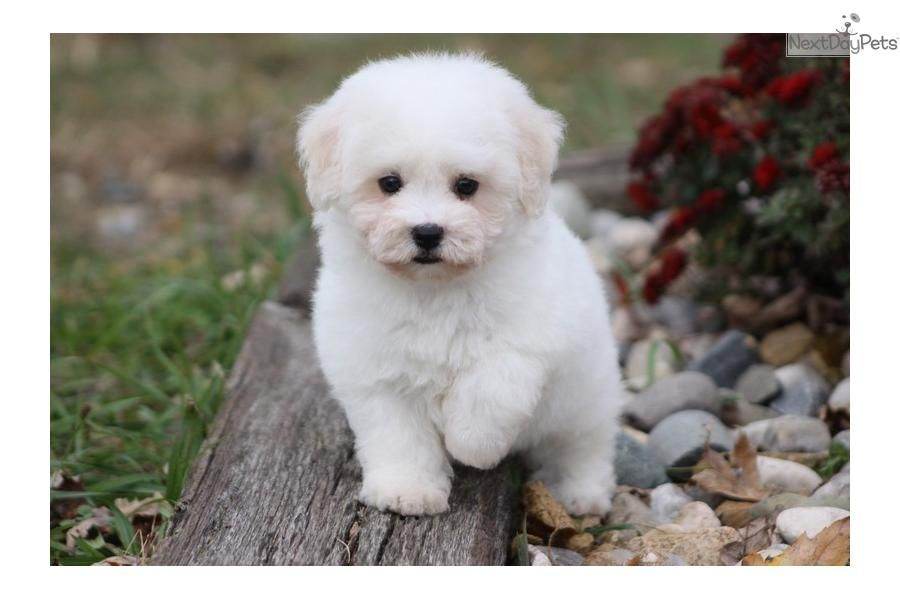 Meet Harmony A Cute Bichon Frise Puppy For Sale For 1 100 Harmony Bichon Frise Bichon Frise Puppy Bichon