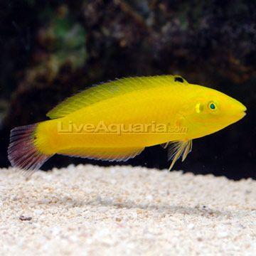 Yellow Wrasse Saltwater Aquarium Fish Aquarium Fish Marine Fish
