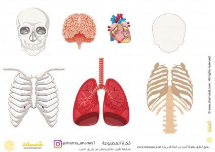 نشاط مطبوع عملي اجزاء اجسام الجسم الداخلية 3 Thumb
