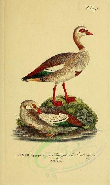 birds-05142 - Egyptian Goose [1946x3270] ornithological old 1700s ...