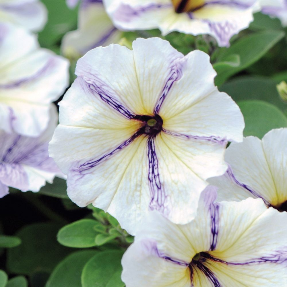 High trees garden centre  Petunia uCloud Nineu  цветы  Pinterest  Petunias Plants and Flowers
