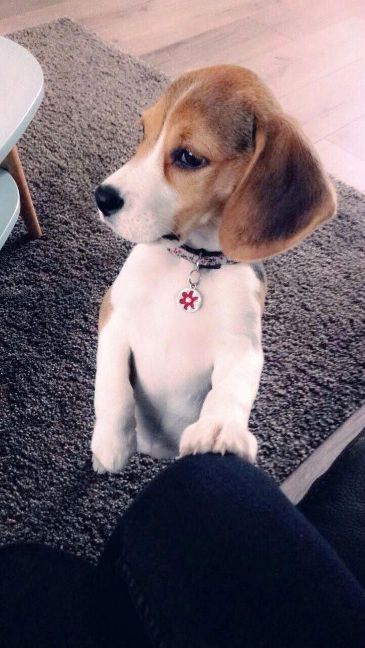 Everything About The Curious Beagle Puppy Temperament